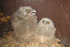 大きさの違う2羽のヒナ