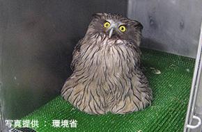 事故により保護されたシマフクロウ
